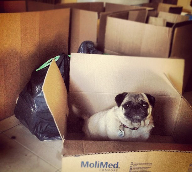 Pug Dog in a Moving Box